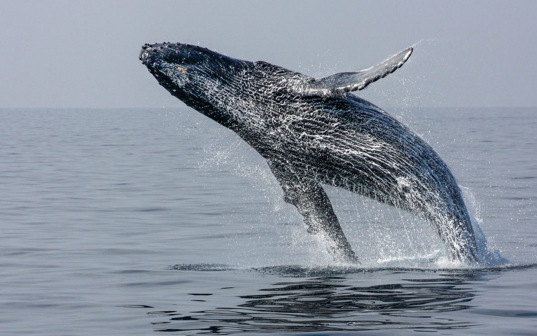 Make the Most of Winter Whale Season in Cabo San Lucas with These Tips from Grand Solmar Resort and Spa